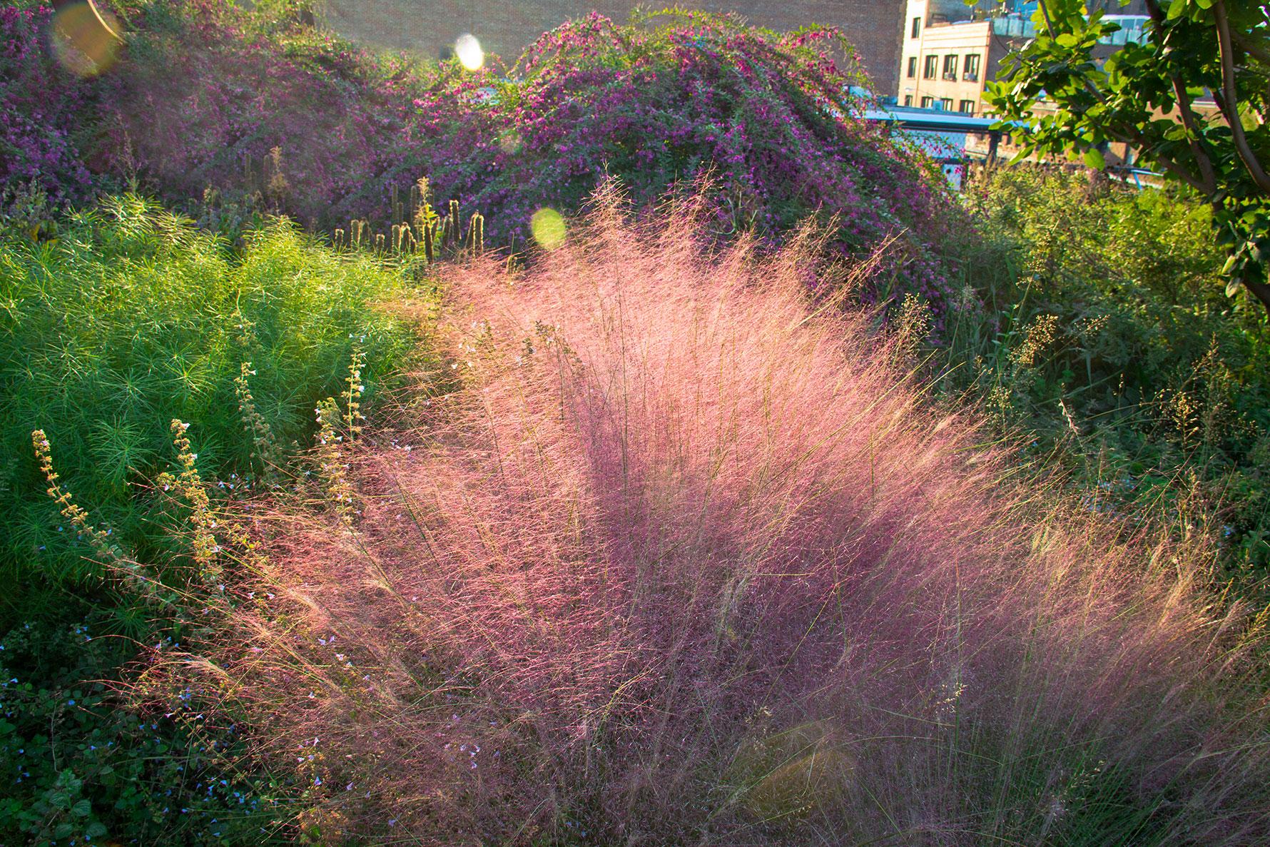 Pink grass stalks