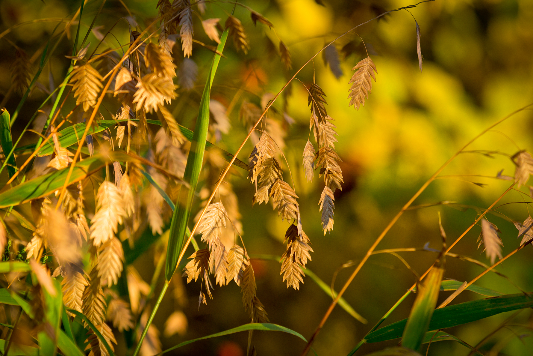 Drooping, golden leaves
