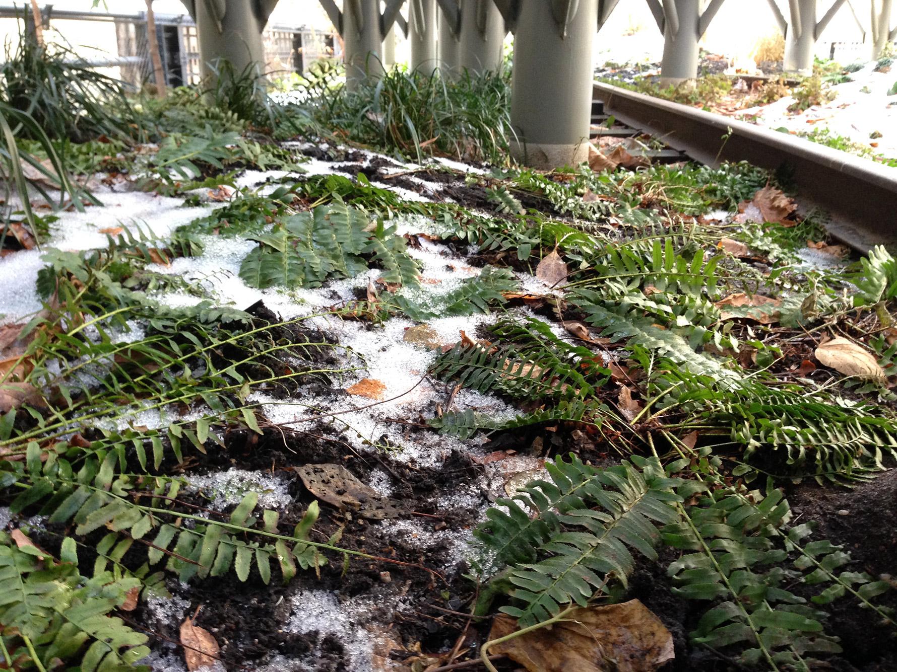 Snow on ferns on the ground