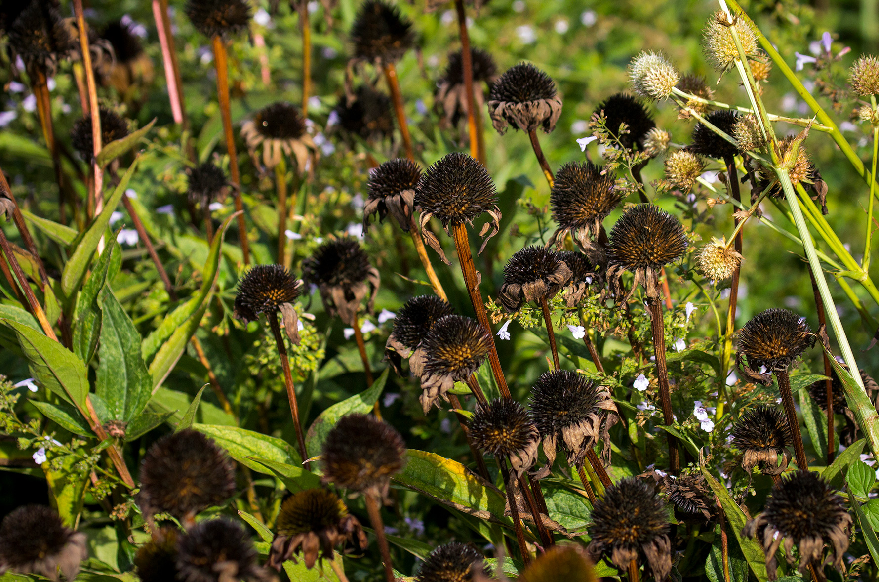 A cluster of dead coneflowers